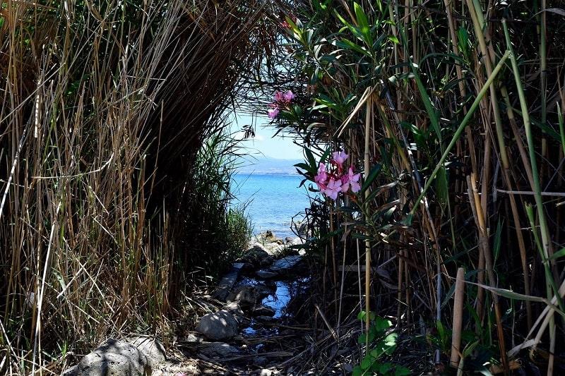 Bambou pseudosa