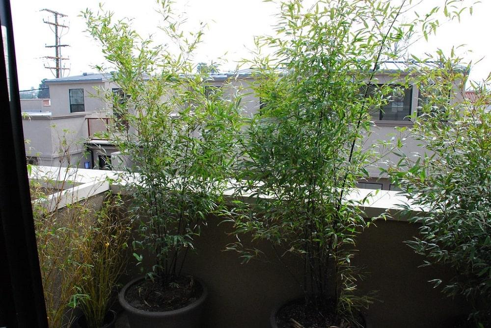 Bambou en pot sur terrasse