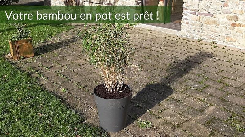 Votre bambou en pot est prêt !