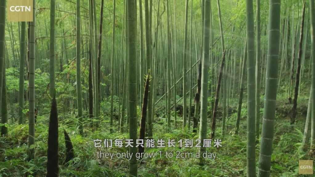Forêt de bambous Wuyi