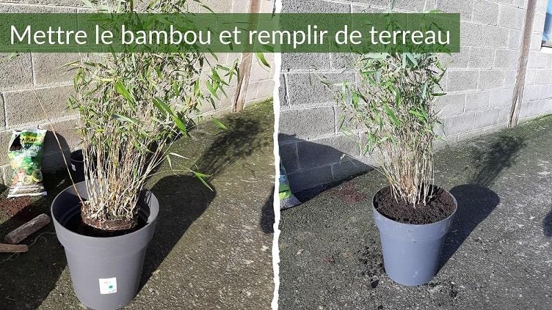 Mettre le bambou dans le pot et remplir de terreau