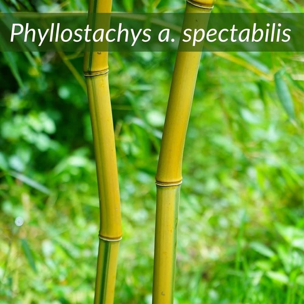 Phyllostachys aureosulcata spectiabilis en pot