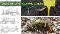 Comprendre le Rhizome du Bambou (Barrière Efficace ? Traçant ?)