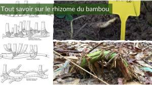 Rhizome de bambou