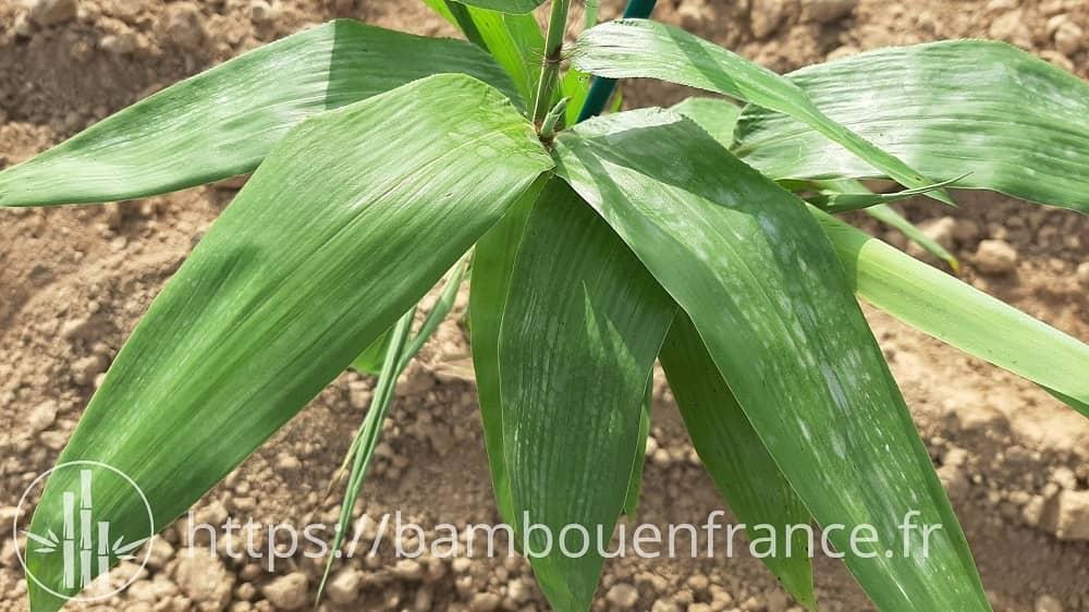 Feuilles de bambou Moso