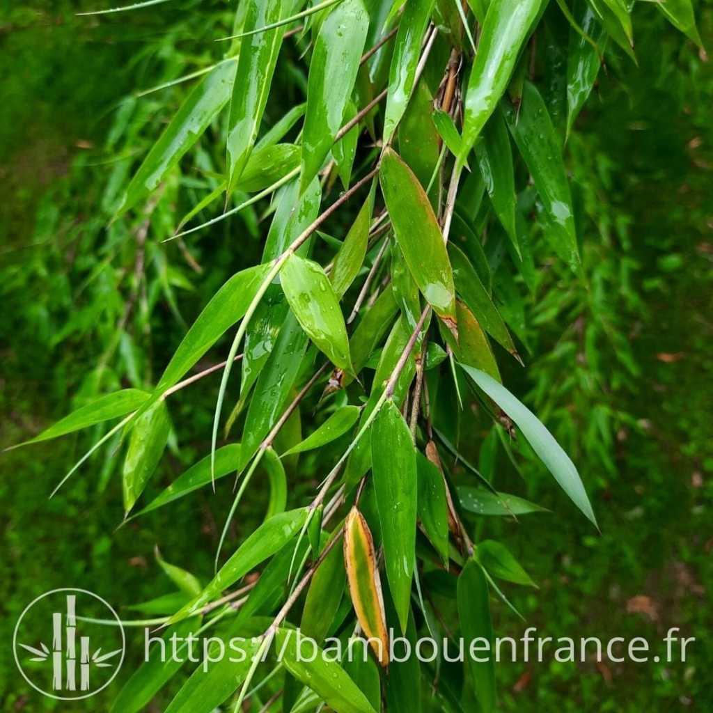 bambou fargesia denudata