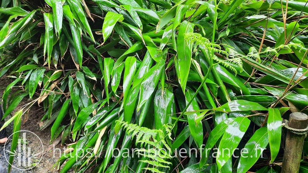 Feuilles de bambou Indocalamus tesselatus