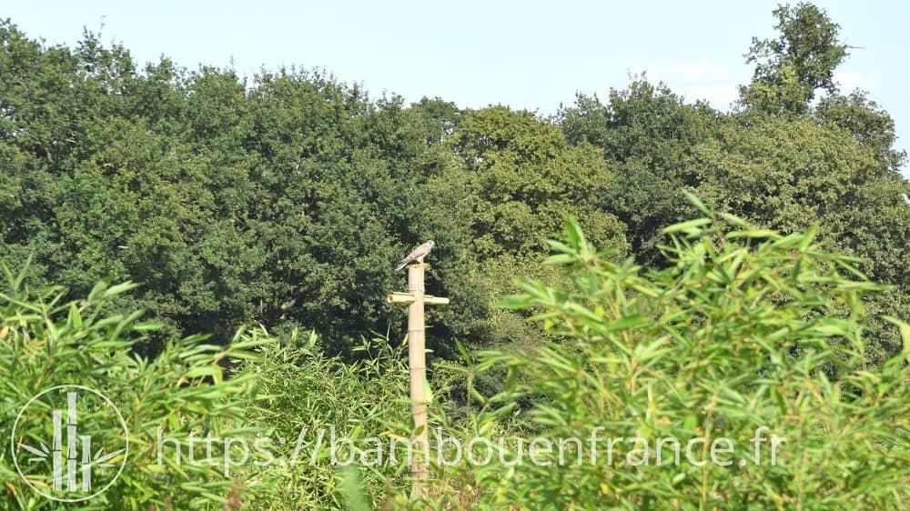 Culture du bambou prédateurs