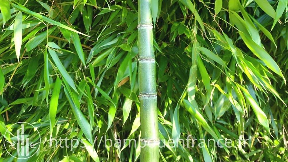 Chaume de bambou P. flexuosa avec des entrenœuds comprimés