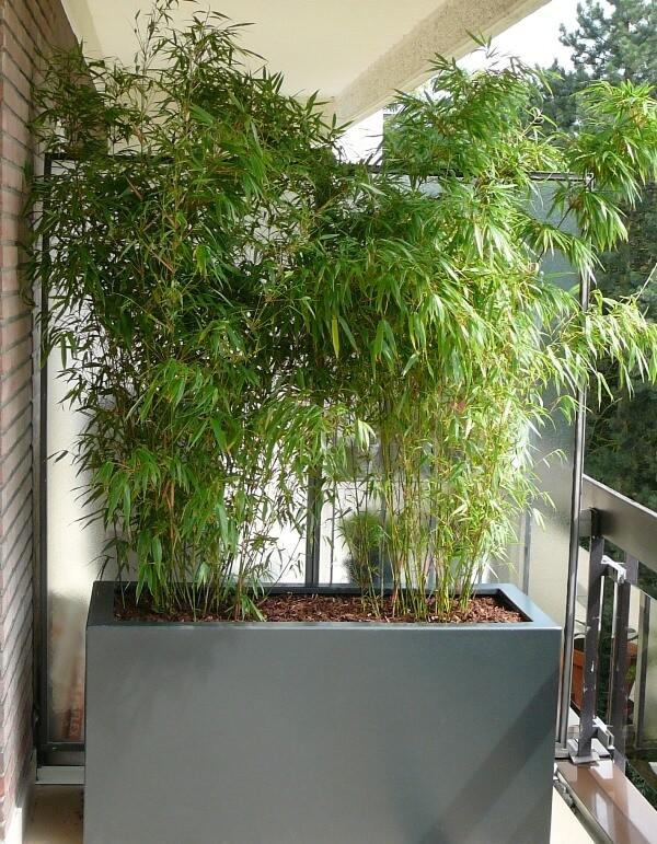 bambou en bacs jardin bambou