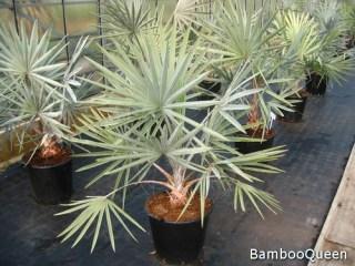 Palma Bismarckia