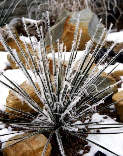 Juka ogrodowa zimą