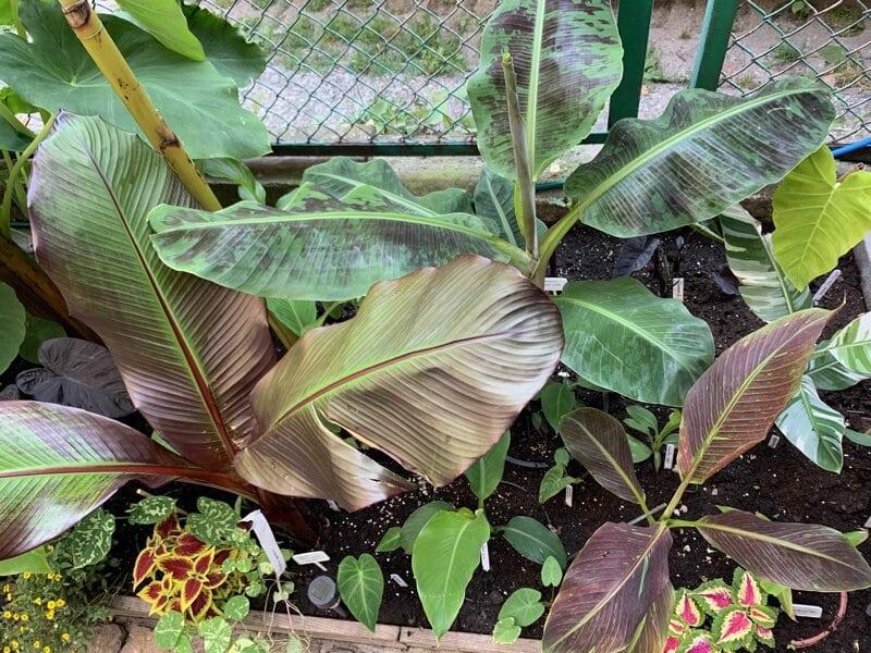 banany-miejska-dżungla-siam-ruby-musa