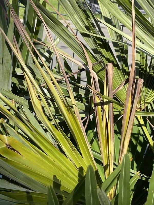 liście palmy szorstkowiec brązowieją