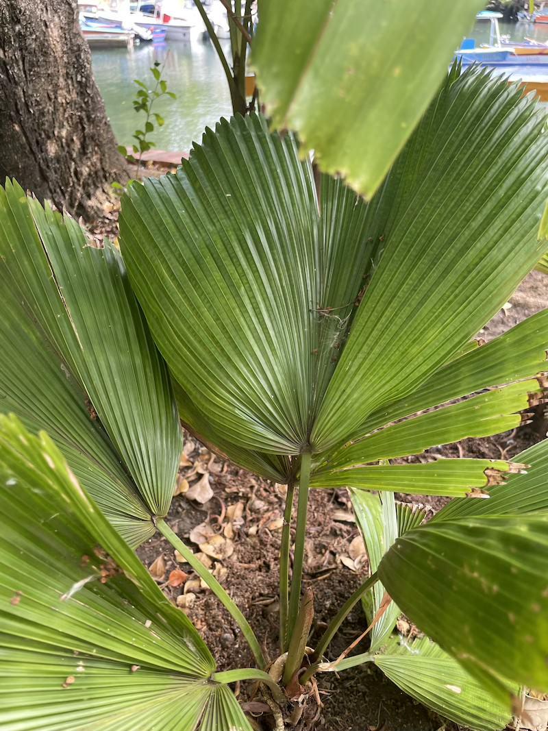 licuala grandis -likuala palma wachlarzowata dominikana
