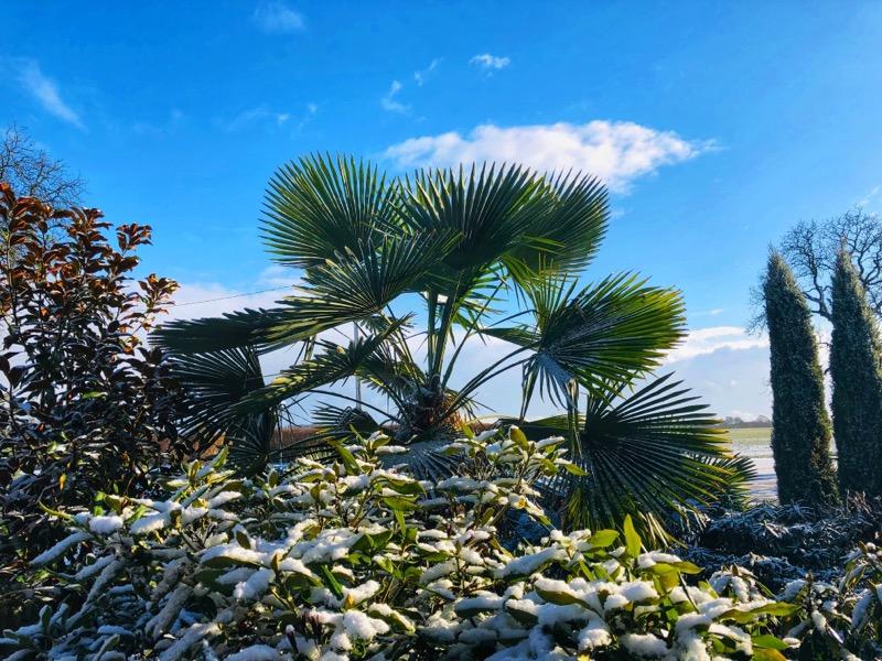 Zabezpieczanie palm mrozoodpornych przed mrozem – jak się przygotować