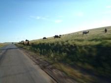 Camels on the way to Ulaan Baatar.
