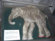 Woolly Mammoth Baby.