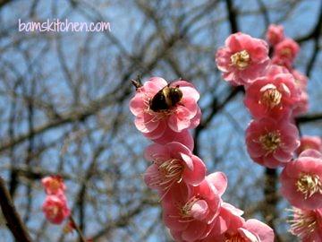 Sakura_Bee