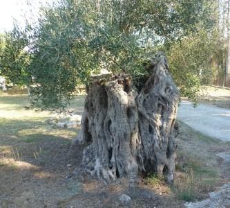 Uralter Olivenstamm