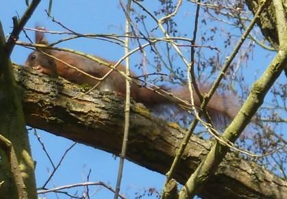Eichhörnchen am dicken Stamm
