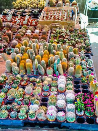 Cacti at a market