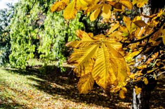 Bright golden leaves at Kelvingrove