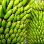 Banano inmune a enfermedades está bajo estudio