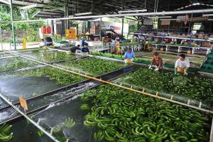 El problema del banano para los productores europeos