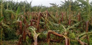 Mercado del banano en Puerto Rico después del huracán Irma