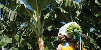 Tendencia de consumo de banano en EEUU según la cadena de suministro