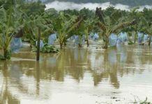 El cultivo de banano se ve afectado por el cambio climático