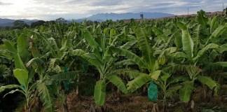 cultivo banano ecuador
