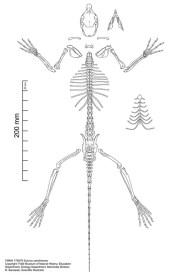 FMNH 178079 Sciurus carolinensis skeleton. Copyright Rebe Banasiak, The Brush Hilt and Banasiak Art Gallery.