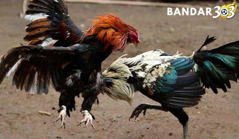 7 Ciri Ayam Bangkok Aduan Dengan Pukulan Keras Dan Mematikan