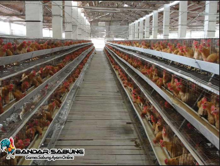 Cara Sukses Ternak Ayam Petelur versi Bandarsabung.com - Sabung Ayam Online