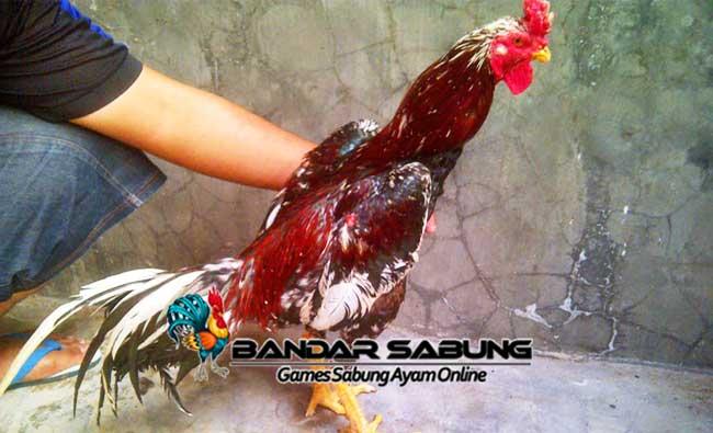 Ayam Pakhoy - Sabung Ayam Online