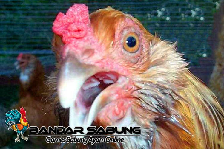 Cara Mencegah Penyakit Ngorok Pada Ayam Aduan - Sabung Ayam Online