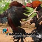 Ciri Ciri Ayam Pukul Saraf