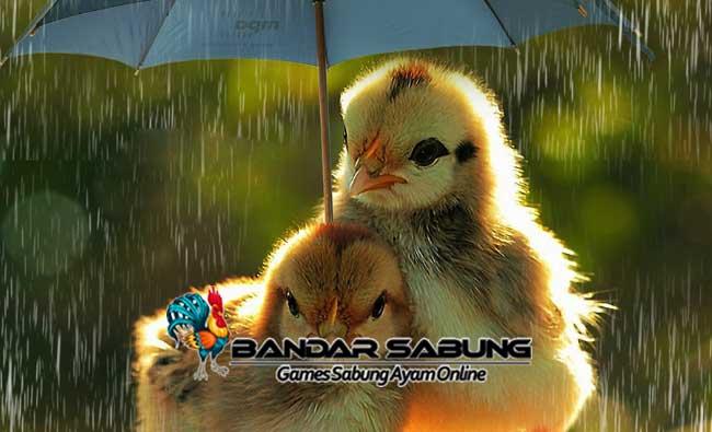 Jenis Penyakit Ayam Di Musim Hujan Yang Patut Diwaspadai