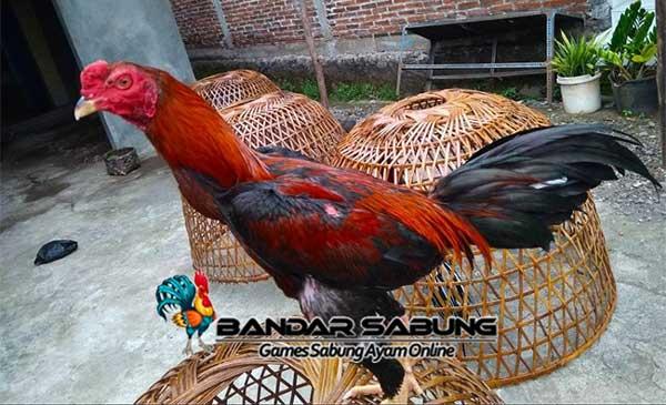 Tiga Syarat Ayam Bangkok Untuk Merajai Sabung Ayam