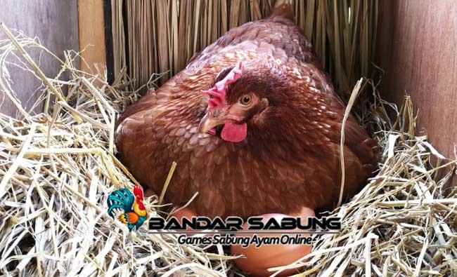 Jenis Jenis Pakan Ayam Petelur