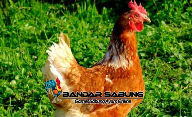 Tips Memelihara Ayam Organik