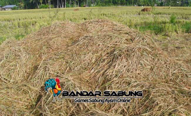 Tips Saran Menyusun Pakan Ternak Dari Limbah Pertanian Yang Perlu DiPelajari