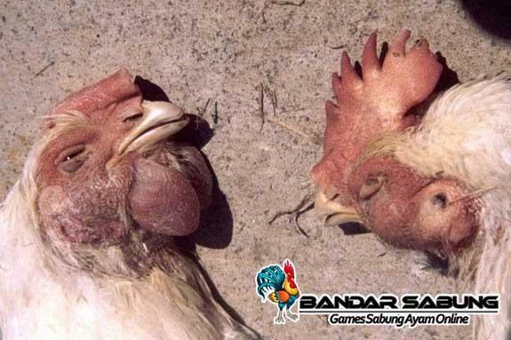 Tips Mengobati Kutu Pada Ayam Aduan