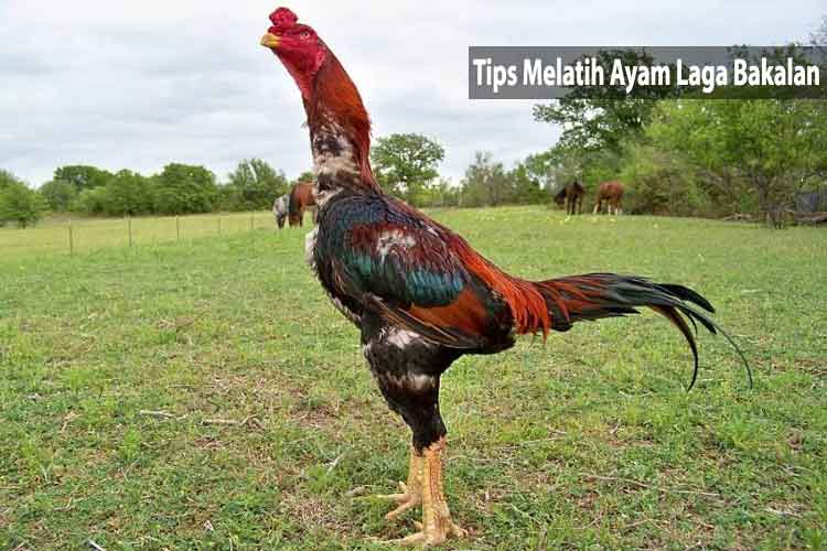 Tips Melatih Ayam Laga Bakalan