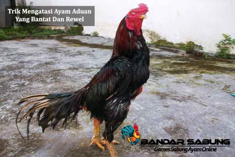 Trik Mengatasi Ayam Aduan Yang Bantat Dan Rewel - Sabung Ayam Online