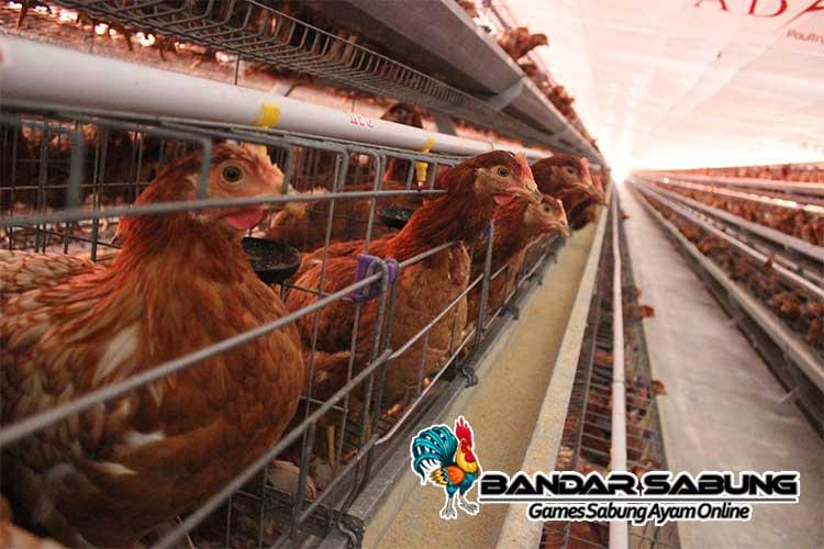 6 Kelebihan Ternak Ayam Layer yang Menggiurkan