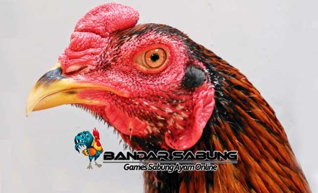 Ayam Suro - Sabung Ayam Online