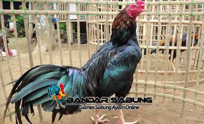 Ayam Aduan Lokal Juara Asli Indonesia Sabung Ayam Online